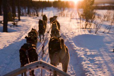 Hundekjøring i vinterlandskap.