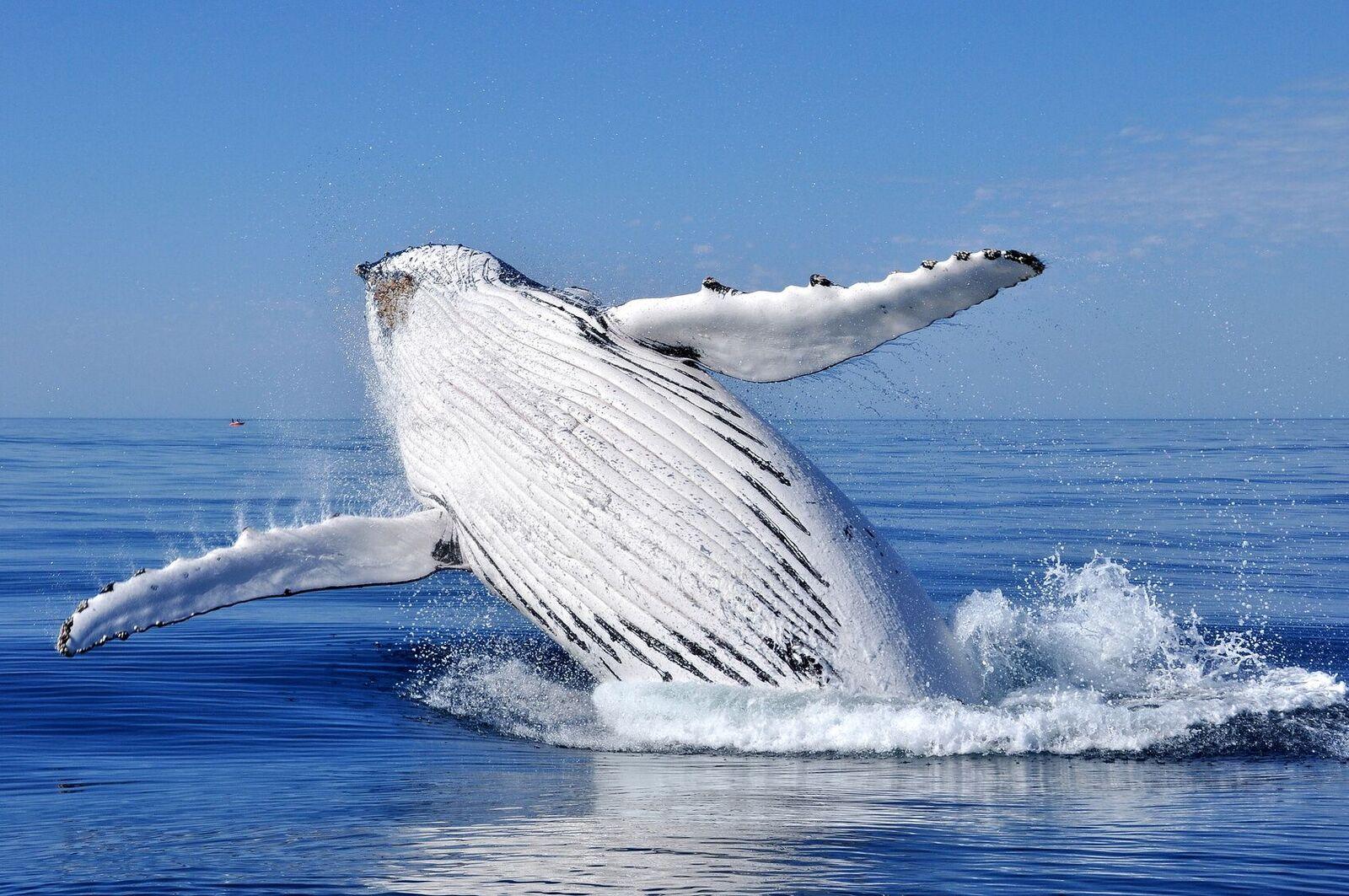 Spermhval som hopper i vannflaten. En flott gave til far som har alt: gi han en hvalsafari.