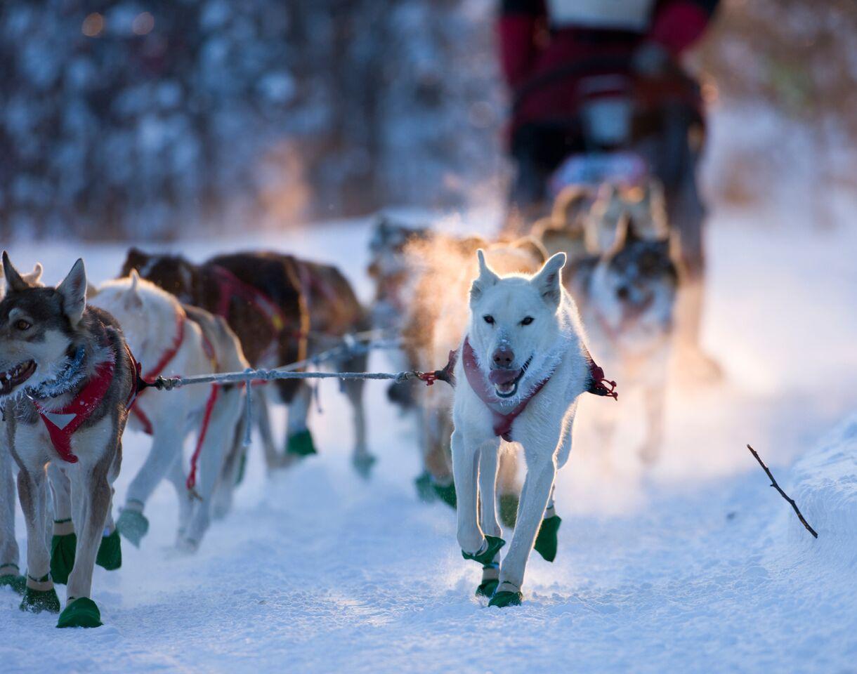 Et spann med hunder som løper gjennom snøen og trekker en slede. Gi bort hundekjøring i valentinesgave 2018.