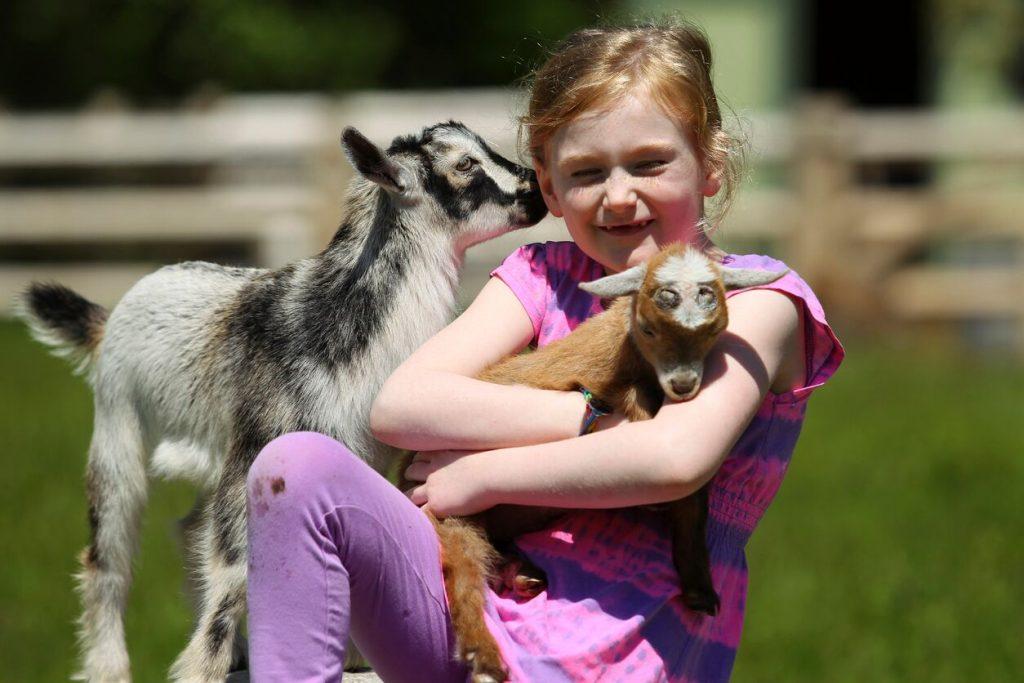 En jente som koser med en geit og en babygeit. Dyrepark er en av mange opplevelser i norge for familien.