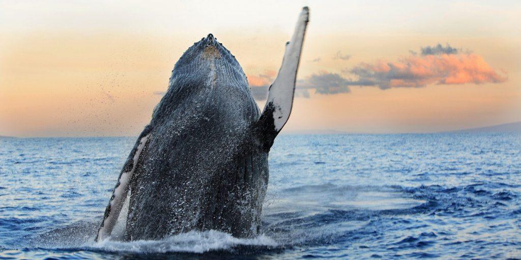 En hval som hopper opp av sjøen med en flott himmel bak. En spektakulær gave til sønn.