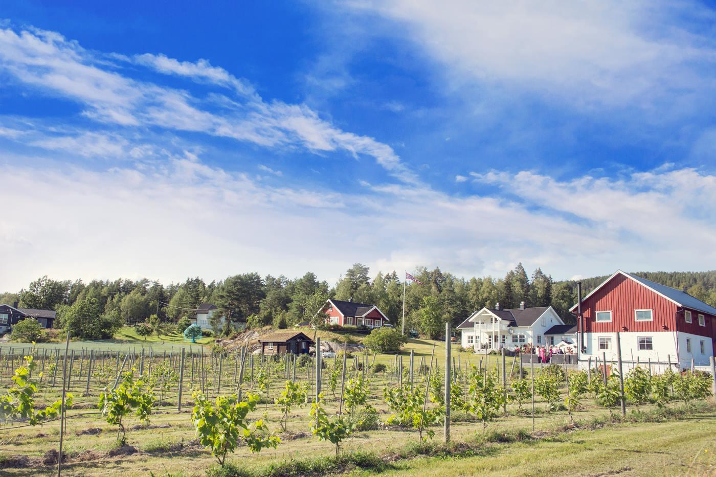 Idylliske omgivelser på norsk vingård.