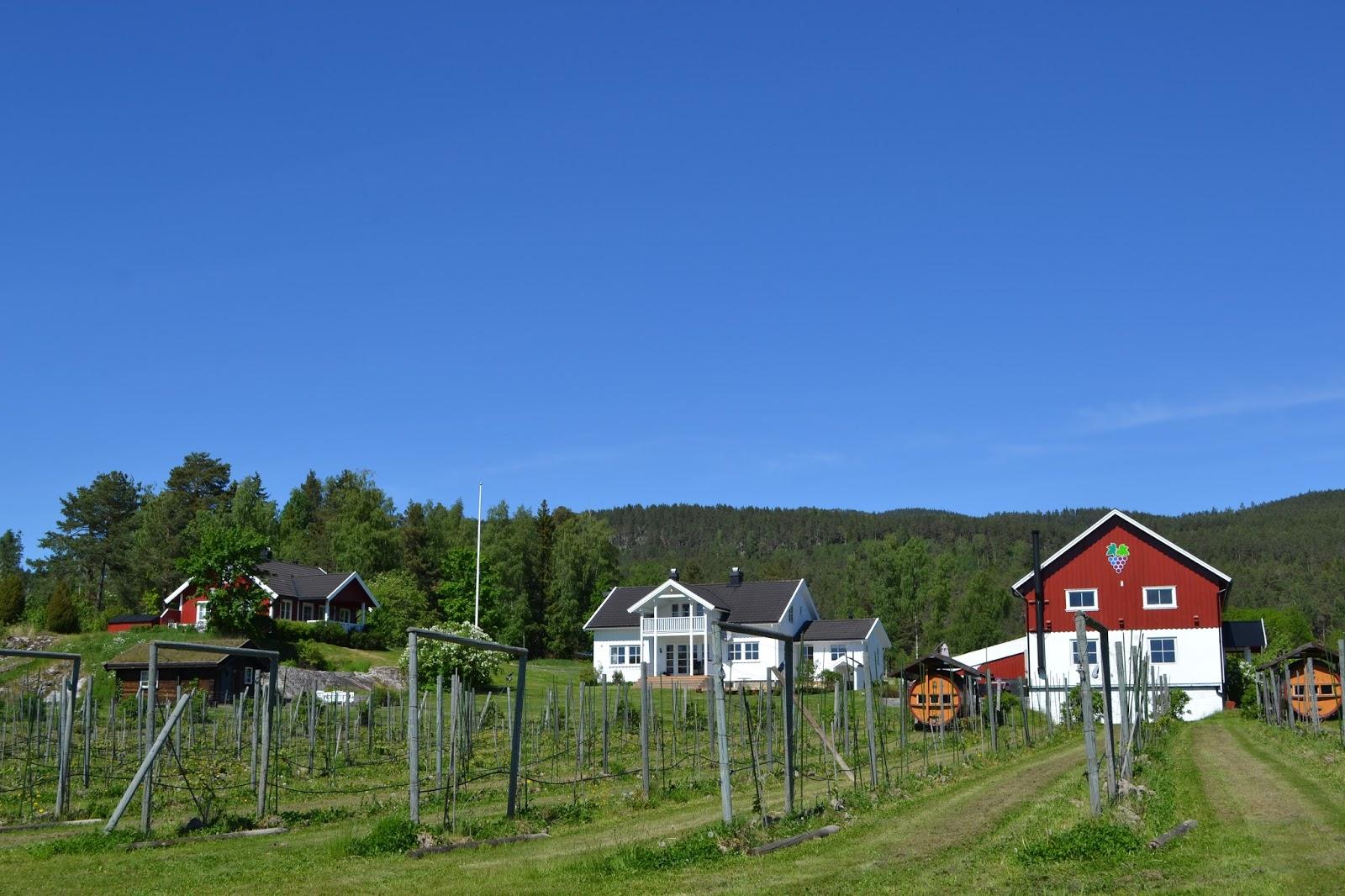 Idyllisk norsk vingård i Telemark.