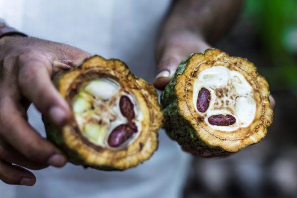 På sjokoladekurs i Oslo lærer man mer om kakaofrukten.