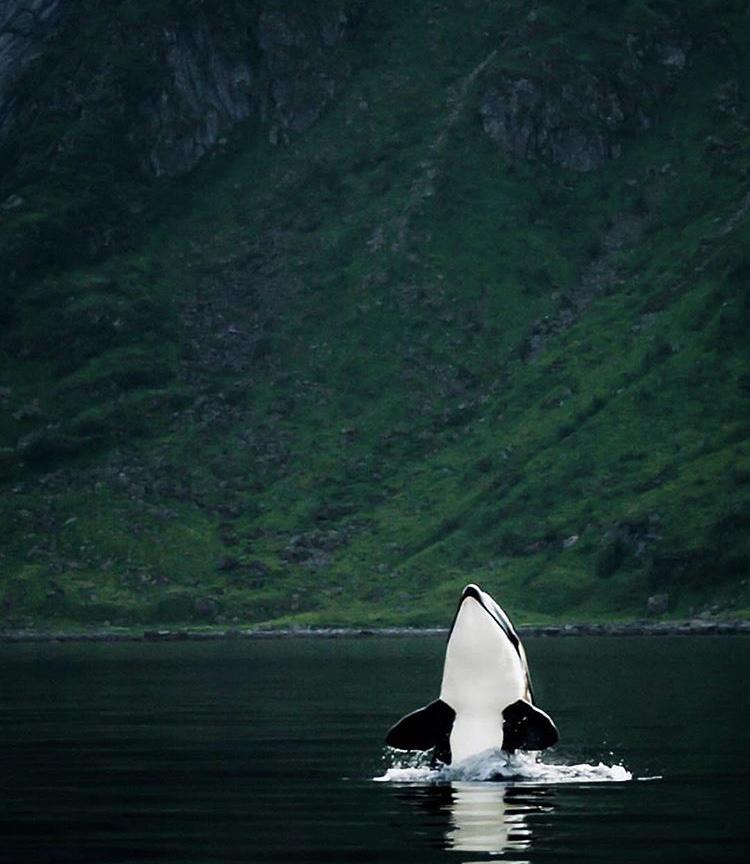 Opplev Norge på sitt beste på spekkhuggersafari.
